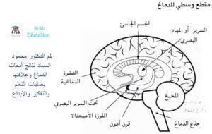 بقلم الدكتور محمود المساد نتائج أبحاث الدماغ وعلاقتها بعمليات التعلم والتفكير والإبداع 2