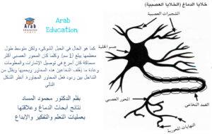 1 بقلم الدكتور محمود المساد نتائج أبحاث الدماغ وعلاقتها بعمليات التعلم والتفكير والإبداع